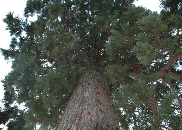 sequoia23