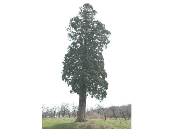 sequoia27