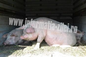 Au fost consfiscati, eutanasiati si incinerati 25 de porci, in valoare de 7.000 de lei