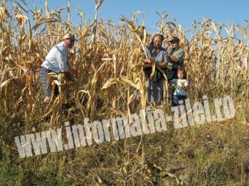 Cules de porumb in satul Ruseni, comuna Paulesti