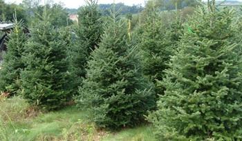Romsilva va crea culturi pentru cresterea pomilor de Craciun