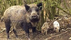 Mistreţii sunt purtători ai pestei porcine africane