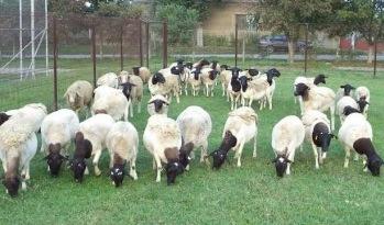Oile sunt mai receptive la boala limbii albastre