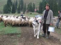 Câine de paza la oi