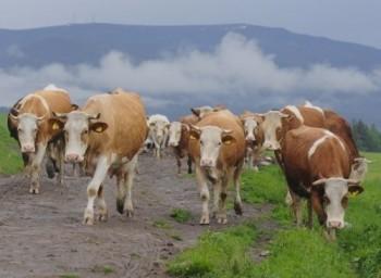 Mulţi fermieri îşi vor vinde vacile
