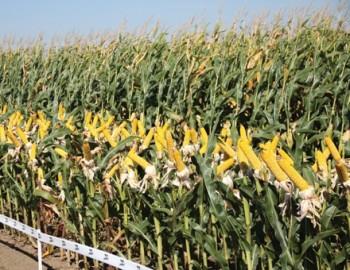 Peste 2 milioane de hectare de pamant vor fi insamantate cu porumb