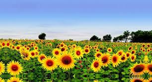 Lan de floarea-soarelui