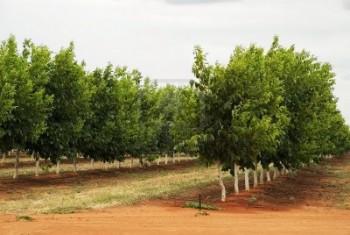 Plantaţie de nuc