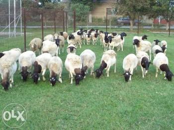 Nu toate oile bolnave de boala limbii albastre mor