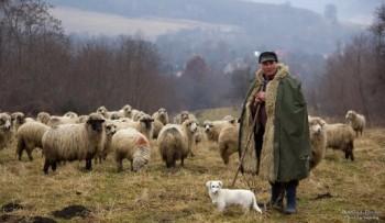 Creşterea oilor pare să fie de interes