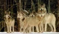 Haite de lupi au dat târcoale unor stâne din judeţ