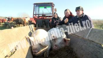 Oferta bogată de porci graşi în târgul de la Călineşti-Oaş