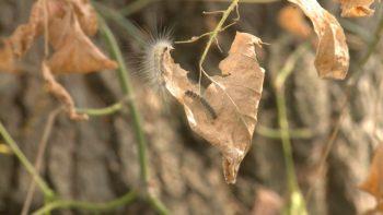Omizile ataca pomii fructiferi si arborii
