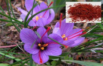 Flori de sofran