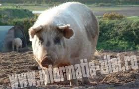 2 porci au fost depistati cu trichineloza la Batarci