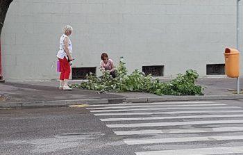 Doua satmarence au cules flori de tei de pe o creanga cazuta la pamant, pe strada Micu Klein, in urma furtunii