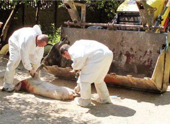 Au fost despăgubiţi 7.862 de proprietari de porci ucişi