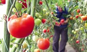 De la 1 noiembrie este în derulare cel de al doilea ciclu de producere a roşiilor în extrasezon, în spaţii protejate
