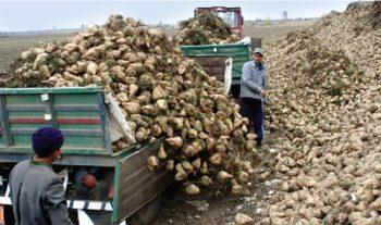 Cultivatori de sfecla din judetul Satu Mare