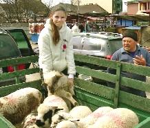 Fermierii apreciază că le va fi foarte greu să vândă miei care înainte de sărbători vor avea 20-25, chiar 30 de kilograme